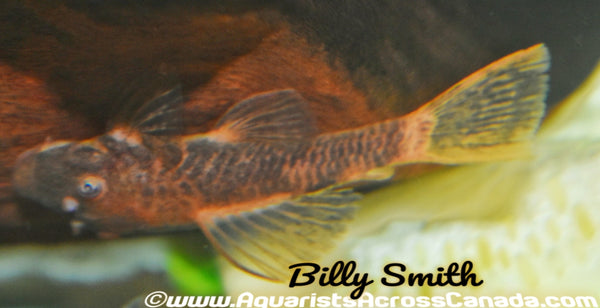 BRISTLENOSE CALICO (Ancistrus .sp) - Aquarists Across Canada