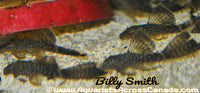 BRISTLENOSE LONGFIN (Ancistrus sp.) - Aquarists Across Canada