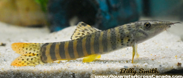 BANDED TIGER LOACH (Syncrossus helodes ) - Aquarists Across Canada