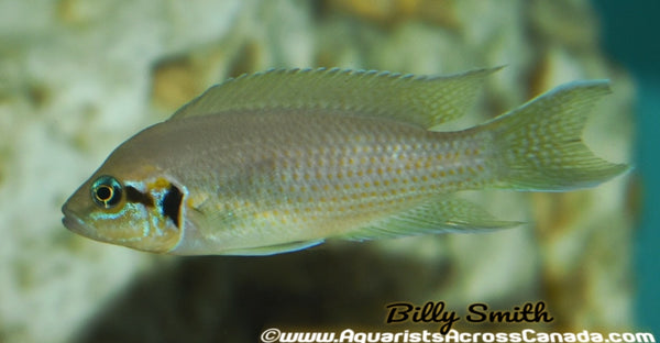 "BRICHARDI (NEOLAMPROLOGUS BRICHARDI) 3"" - Aquarists Across Canada"