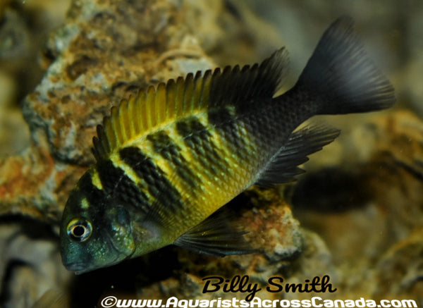 TROPHEUS KIRIZA YELLOW - Aquarists Across Canada
