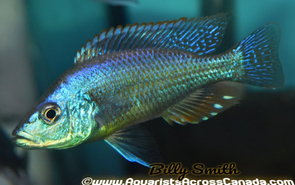 "DIMIDOCHROMIS STRIGATUS (HOUSEBRED F1) 2"" UNSEXED - Aquarists Across Canada"