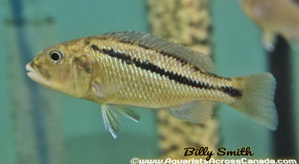 "ARISTOCHROMIS CHRISTYI *MALAWI HAWK* (HOUSEBRED F1) 3"" - Aquarists Across Canada"