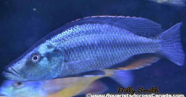 "DIMIDOCHROMIS COMPRESSICEPS *EYE BITER* (DOMESTIC, HOUSEBRED) 6"" MALE - Aquarists Across Canada"