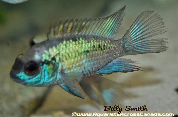 "ELECTRIC BLUE ACARA (Andinoacara pulcher) 2"" - Aquarists Across Canada"