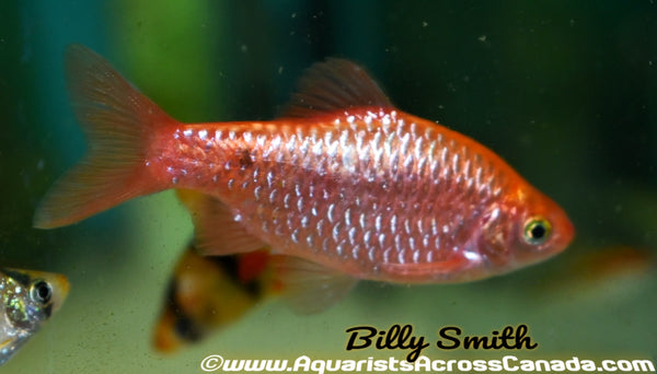 FIRE BARB (Pethia Conchonius .fire) - Aquarists Across Canada
