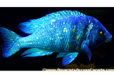 "PLACIDOCHROMIS PHENOCHILUS ""TANZANIA"" STAR SAPPHIRE 5"""" MALE - Aquarists Across Canada"