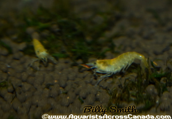 GREEN JADE SHRIMP (neocaridina denticulata. Var) - Aquarists Across Canada