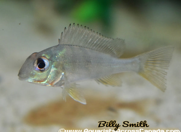 GEOPHAGUS ALTIFIRONS *ARAGUARI* - Aquarists Across Canada