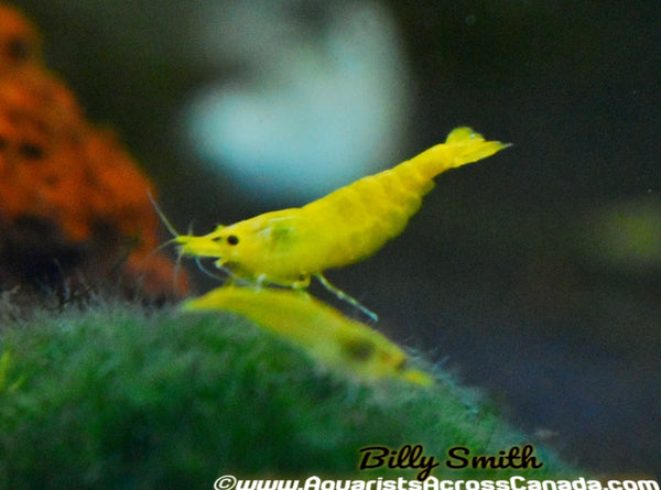 YELLOW SHRIMP (Neocaridina davidi .var) - Aquarists Across Canada
