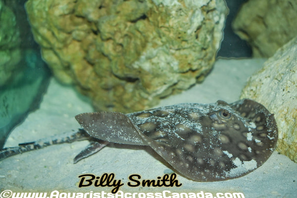 MOTORO STINGRAY (Potamotrygon Motoro) - Aquarists Across Canada