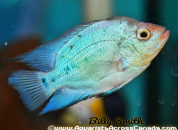 FLOWERHORN THAI SILK - Aquarists Across Canada