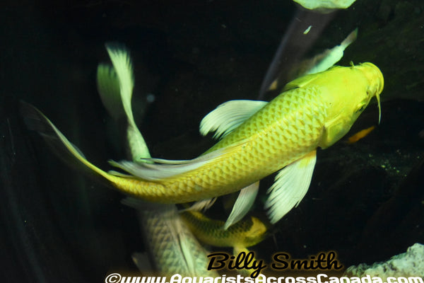 "KOI BUTTERFLY (Cyprinus Carpio) 8"" - Aquarists Across Canada"