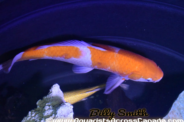 "KOI ASSORTED (Cyprinus Carpio) 8"" - Aquarists Across Canada"