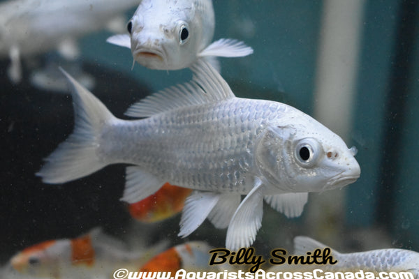 "KOI PLATINUM (Cyprinus Carpio) 5"" - Aquarists Across Canada"