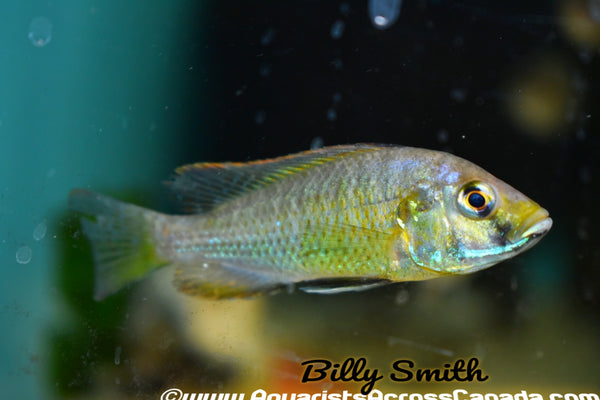 "ASTATOTILAPIA CALIPTERA (EASTERN HAPPY) F1 2-3"" - Aquarists Across Canada"