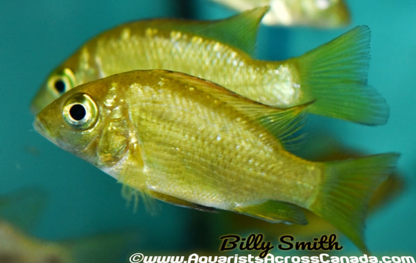 "EAST COAST GOLDS (Ptychromis grandidieri) 3-4"" - Aquarists Across Canada"