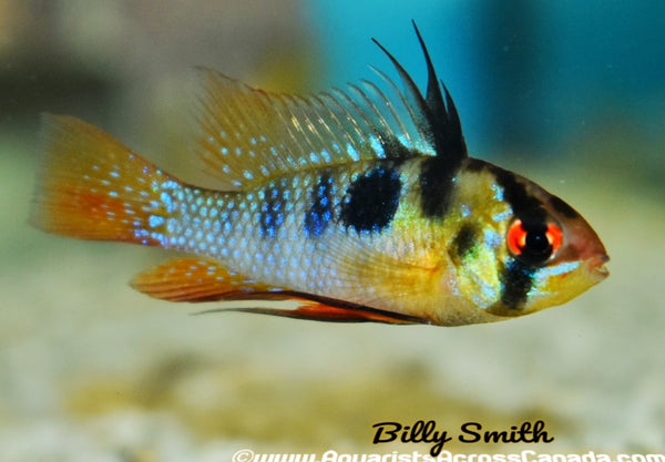 GERMAN BLUE RAM (Mikrogeophagus ramirezi) - Aquarists Across Canada