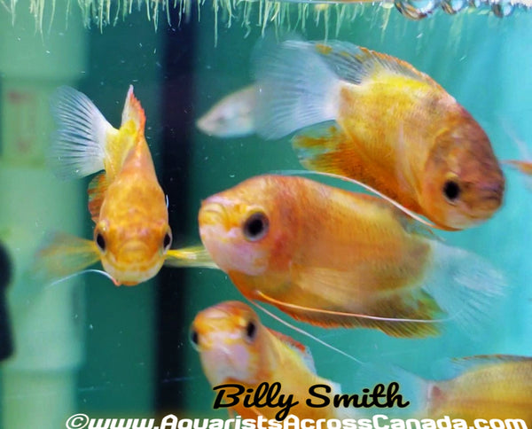 HONEY FIRE GOURAMI (Trichogaster chuna) - Aquarists Across Canada