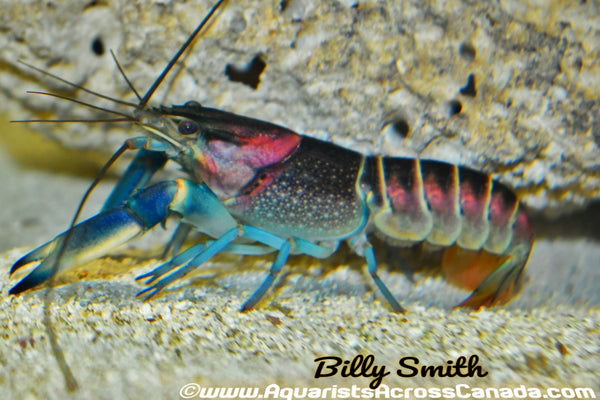 HOA CREEK LOBSTER (Cherax Pulcher) - Aquarists Across Canada