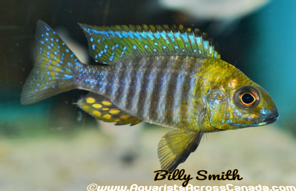 "YELLOW HEAD PEACOCK (AULONOCARA CHITANDE .SP NKHATA BAY) F1 3"" SEXED - Aquarists Across Canada"