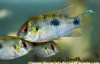 AFRICAN BUTTERFLY CICHLID (Anomalochromis thomasi) - Aquarists Across Canada