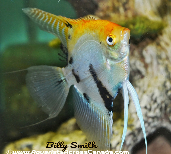 ANGELFISH MEDIUM (Pterophyllum scalare) - Aquarists Across Canada