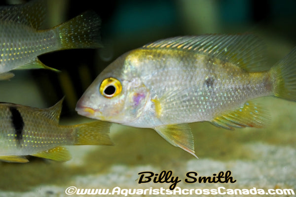 COSTA RICAN JEWEL (Cribroheros Altifrons) - Aquarists Across Canada