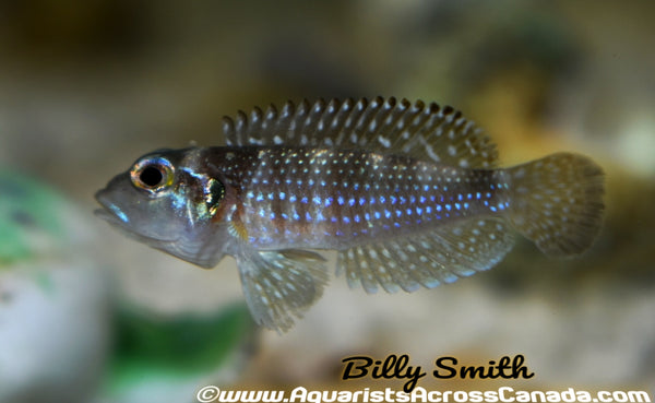 NEOLAMPROLOGUS MELEAGRIS (PEARLY OCELLATUS) - Aquarists Across Canada