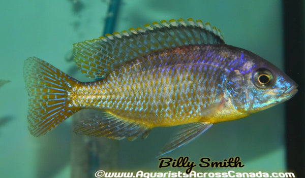 "PROTOMELAS FENESTRATUS (YELLOW BELLY) *NKANDA* 4"" MALE - Aquarists Across Canada"
