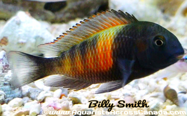 TROPHEUS MOORII *BEMBA* (ORANGE FLAME) - Aquarists Across Canada