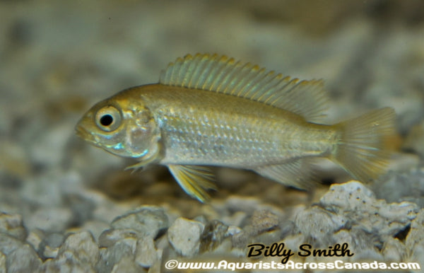 "TROPHEOPS .SP ""CHILUMBA"" ALBINO (RED TOP TROPHEOPS) 2"" UNSEXED - Aquarists Across Canada"
