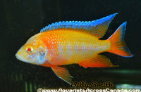 "AULONOCARA SP ""EUREKA RED"" ALBINO (DOMESTIC HOUSEBRED) 2"" - Aquarists Across Canada"