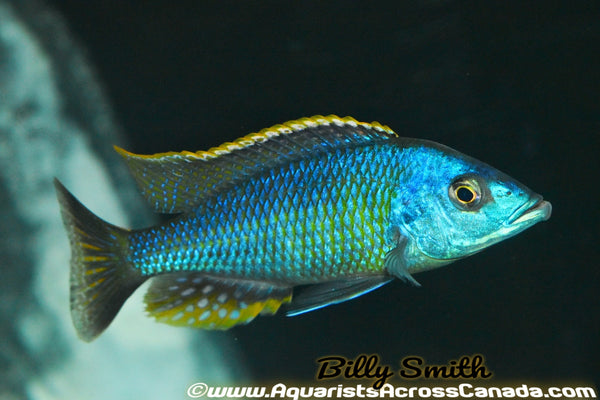 "OTOPHARYNX .SP NOVA BLUE LONGNOSE (HOUSEBRED) *F1* 2"" UNSEXED - Aquarists Across Canada"