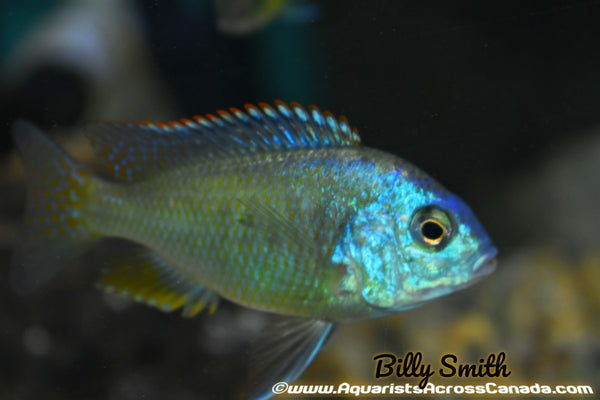 "CHILOTILAPIA RHOADESSI F1. 3.5"" SEXED. - Aquarists Across Canada"