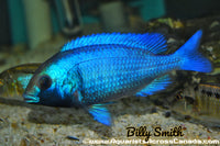 "PLACIDOCHROMIS PHENOCHILUS *GISSEL* (HOUSEBRED, F1) 3"" SEXED - Aquarists Across Canada"