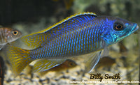 "MYLOCHROMIS LATERISTRIGA ""Mchuse"" (HOUSEBRED F1) 2-3"" UNSEXED - Aquarists Across Canada"