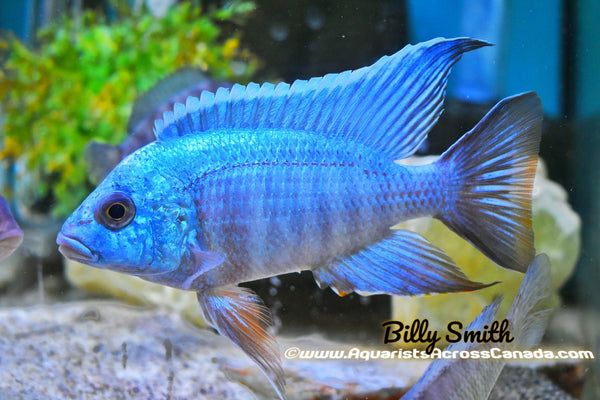 "AULONOCARA .SP TURKIS (HOUSEBRED, DOMESTIC) 2"" - Aquarists Across Canada"