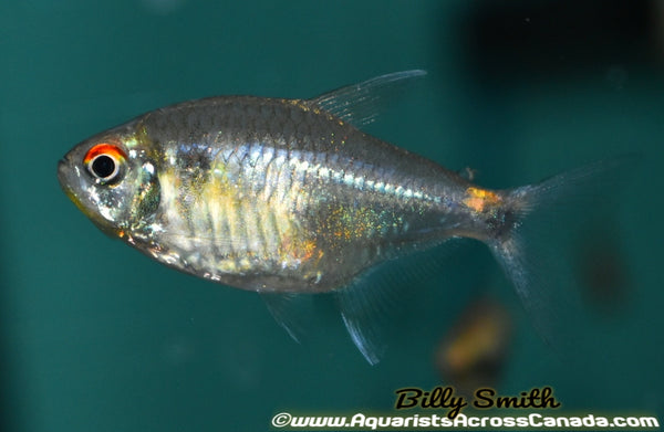 DIAMOND TETRA (Moenkhausia pittieri) - Aquarists Across Canada