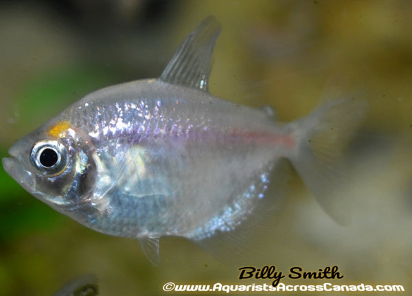 WHITE SKIRT TETRA (Gymnocorymbus ternetzi) - Aquarists Across Canada