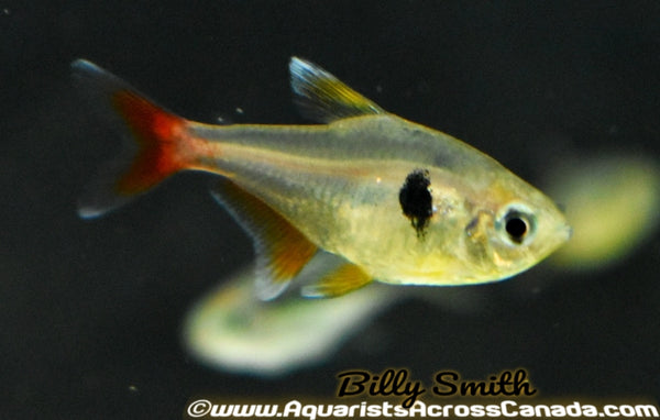 YELLOW PHANTOM TETRA (Hyphessobrycon roseus ) - Aquarists Across Canada
