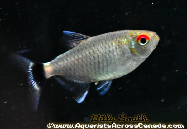 RED EYE TETRA (Moenkhausia sanctaefilomenae) - Aquarists Across Canada
