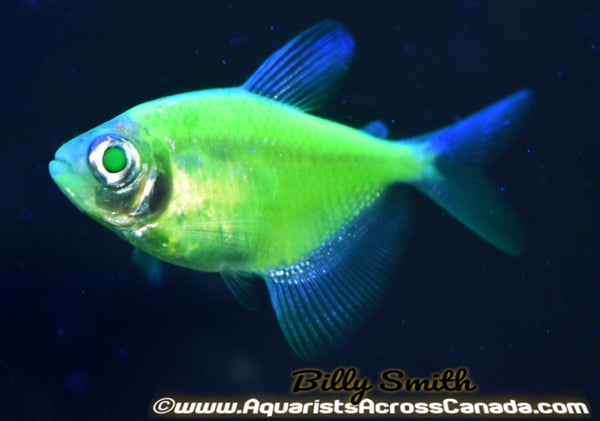 GLO ELECTRIC GREEN (Gymnocorymbus ternetzi .var) - Aquarists Across Canada