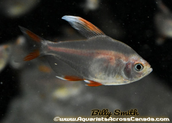 ORNATE TETRA *CANDY CANE* (Hyphessobrycon Bentosi) - Aquarists Across Canada
