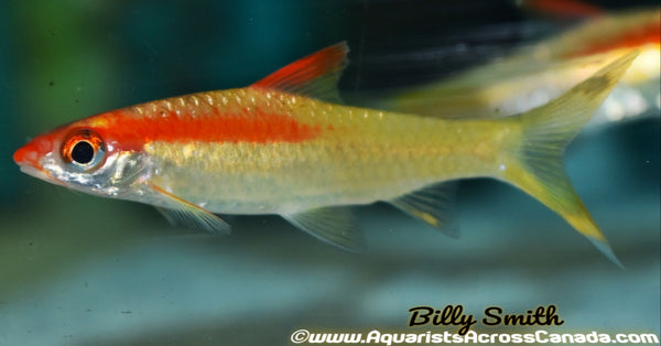 DENISONI BARB *GOLDEN* (Sahyadria denisonii .SP) - Aquarists Across Canada