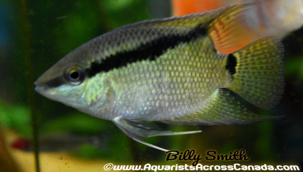 FLAG CICHLID (Mesonauta festivus) - Aquarists Across Canada