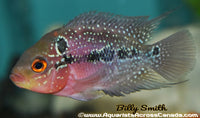 "FLOWERHORN RED DRAGON 2.5-3"" - Aquarists Across Canada"