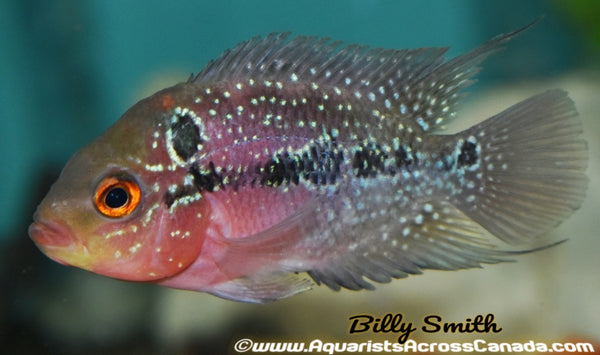 "FLOWERHORN RED DRAGON from 2.5"" - Aquarists Across Canada"