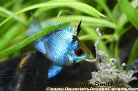 ELECTRIC BLUE RAM BALLOON (Mikrogeophagus ramirezi .sp) - Aquarists Across Canada