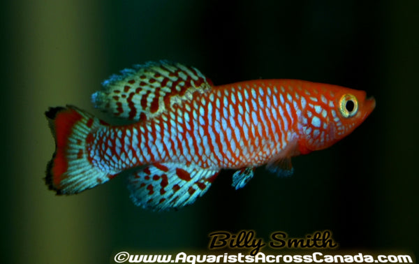 NOTHO KILLIFISH (Nothobranchius rachovi) - Aquarists Across Canada
